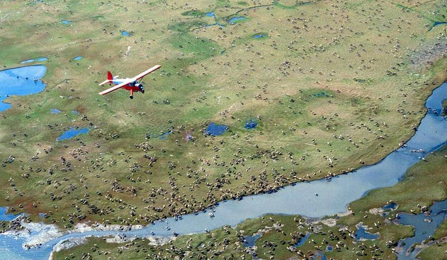 In this undated photo provided by the U.S. Fish and Wildlife Service, an airplane flies over caribou from the Porcupine Caribou Herd on the coastal plain of the Arctic National Wildlife Refuge in northeast Alaska. The Department of the Interior has approved an oil and gas leasing program within Alaska's Arctic National Wildlife Refuge. The refuge is home to polar bears, caribou and other wildlife. Secretary of the Interior David Bernhardt signed the Record of Decision, which will determine where oil and gas leasing will take place in the refuge's coastal plain.  (U.S. Fish and Wildlife Service via AP)