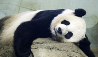 In this Aug. 23, 2015, file photo, The Smithsonian National Zoo's Giant Panda Mei Ziang, sleeps in the indoor habitat at the zoo in Washington. Zookeepers at Washington's National Zoo are on baby watch after concluding that venerable giant panda matriarch Mei Ziang is pregnant and could give birth this week. (AP Photo/Jacquelyn Martin)