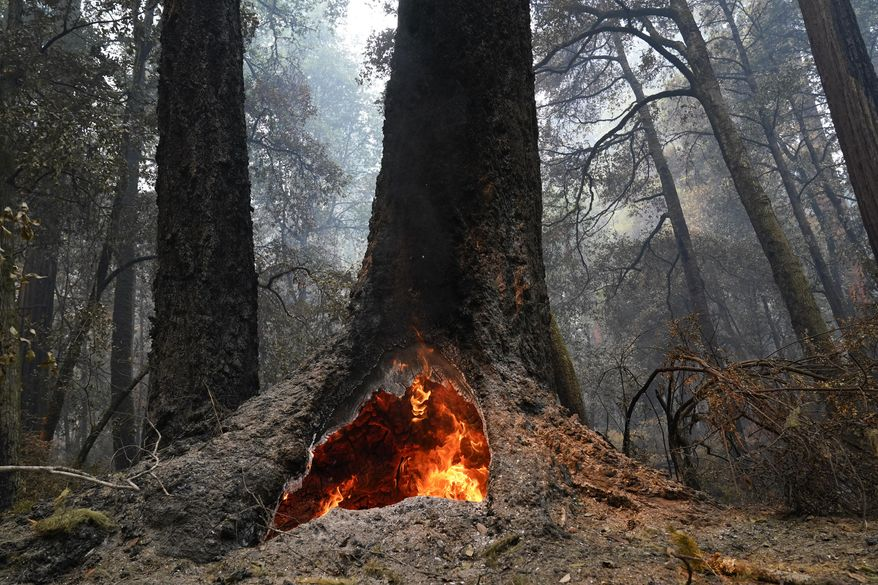 Fire burns in the hollow of an old-growth redwood tree after the CZU August Lightning Complex Fire passed through Monday, Aug. 24, 2020, in Big Basin Redwoods State Park, Calif. (AP Photo/Marcio Jose Sanchez)