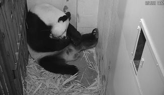 Mei Xiang cradles her newborn cub at the Smithsonian National Zoo on Aug. 25, 2020. Zookeepers expect to be able to perform a health check soon. (Smithsonian Institution)