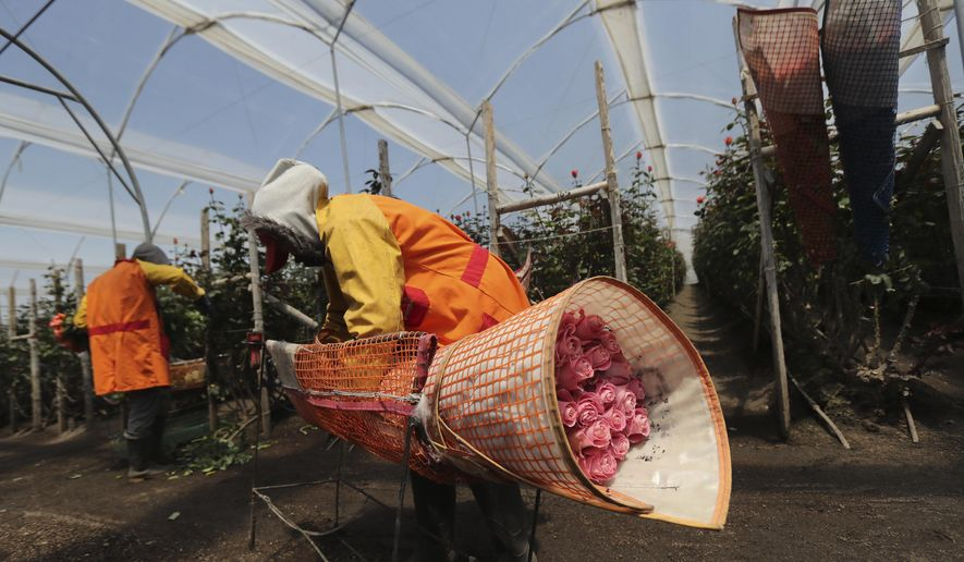 Women harvest flowers at Quito Inor Flowers, in Lasso, Ecuador, Tuesday, Aug. 25, 2020. Demand for Ecuador's prized flowers has struggled to rebound after plummeting earlier this year due to the new coronavirus pandemic, and remains at just 70% the normal rate, according to the Ecuadorian Flower Growers and Exporters Association.(AP Photo/Dolores Ochoa)