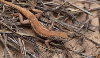 FILE - In this May 1, 2015, file photo is a Dunes Sagebrush lizard in New Mexico. The Trump administration wants to put greater weight on the economic benefits of development when deciding if land or water should be protected for imperiled species. (U.S. Fish and Wildlife Service via AP, File)