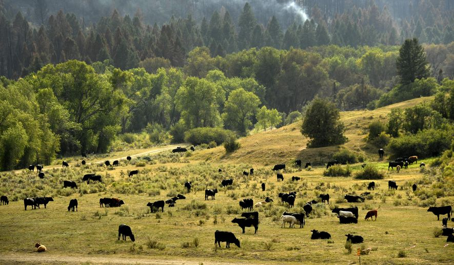 Cattle that have been moved to escape the Pine Gulch Fire graze in meadows saved from the fire as the fire continues to burn around them in the Roan Creek Drainage on Aug. 25, 2020 in De Beque, Colorado. Many ranchers in the area, including Rancher Todd Brackett, who has ranched the area for 44 years, have lost hundreds of thousands of acres of their own land and BLM land they use for grazing their cattle leaving them and many others trying to find alternate areas to keep their cattle safe and fed.(Helen H. Richardson/The Denver Post via AP)