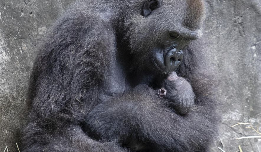 FILE - In this photo provided by the Audubon Nature Institute, Tumani, a critically endangered western lowland gorilla holds her newborn at an enclosure at the Audubon Zoo, following its birth on Friday, Sept. 4, 2020, in New Orleans. Less than a week after celebrating the birth of the infant gorilla, the zoo in New Orleans is mourning its death. Audubon Zoo officials say the baby born Friday died on Wednesday, Sept. 9.  (Jonathan Vogel/Audubon Nature Institute via AP, File)
