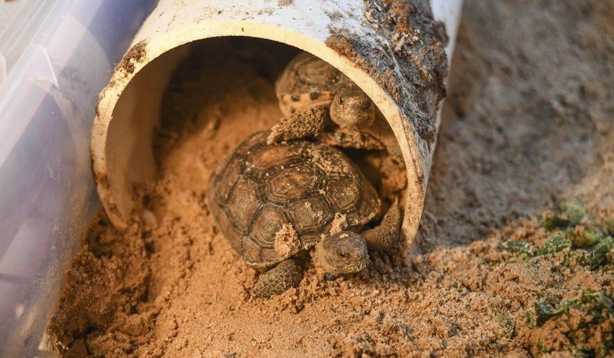 Two gopher tortoises roam around their habitat at the Head Start gopher tortoise hatchery at Camp Shelby in Hattiesburg, Miss., Wednesday, Sept. 9, 2020. (Cam Bonelli/Hattiesburg American via AP)