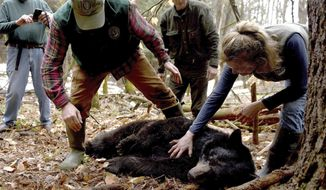 FILE - In this April 13, 2018 file photo, Andrew Timmins, bear project leader with the New Hampshire Department of Fish and Game, steps over a tranquilized black bear as Nancy Comeau, right, of the USDA wildlife services, keeps a hand on the bear after it had been moved onto her side in Hanover, N.H. The bear, tagged and relocated to far northern New Hampshire, was found dead in late August 2020. One of its three cubs was struck and killed by a bus on Monday, Sept. 14, 2020, after it ran onto Route 10 in West Lebanon, N.H. (Jennifer Hauck/The Valley News via AP, File)