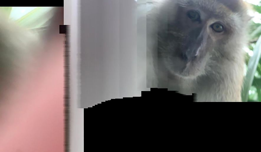 This photo taken with panorama mode but the phone wasn't turned, and provided by Zackrydz Rodzi shows a monkey which took a selfie in Batu Pahat in the southern state of Johor, Malaysia on Saturday, Sept. 12, 2020. Rodzi, a Malaysian student whose cellphone was stolen while he was sleeping has tracked down the culprit: a monkey who took photo and video selfies with the device before abandoning it.(Zackrydz Rodzi via AP Photo)