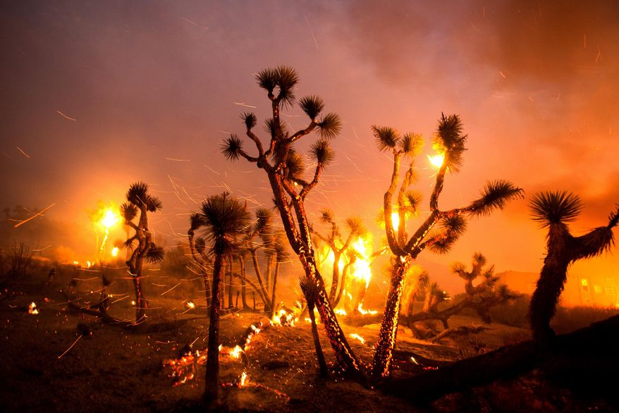 The wind whips embers from the Joshua trees burned by the Bobcat Fire in Juniper Hills, Calif., Friday, Sept. 18, 2020. (AP Photo/Ringo H.W. Chiu)