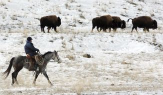 """FILE - In this Jan. 19, 2011, file photo bison from Yellowstone National Park are herded down the Yellowstone River valley toward Cutler Meadow in the Gallatin National Forest, in Mont. Yellowstone National Park officials said in a 2018 briefing paper that they were ordered by then, Secretary of the Interior Ryan Zinke to manage the park's bison """"more actively like cattle on a ranch."""" (AP Photo/Matthew Brown, File)"""