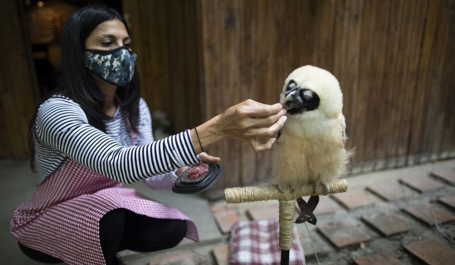 """The veterinarian and environmentalist Grecia Marquis feeds a spectacled owl who when if fell from a tree a month ago was dehydrated and skinny, in Caracas, Venezuela, Monday, Sept. 21, 2020. Marquis, founder of Feathers and Tails in Freedom, said that the rescue of wild animals in the capital """"has been impressive"""" this year. (AP Photo/Ariana Cubillos)"""