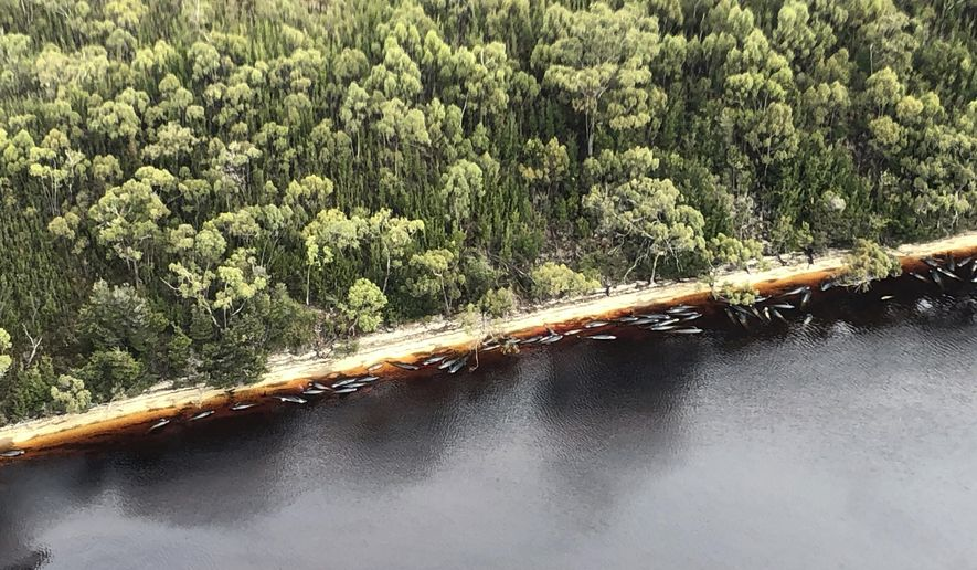 Whale carcasses are scattered along the water's edge near Strahan, Australia, Wednesday, Sept. 23, 2020. Authorities revised up the number of pilot whales rescued from Australia's worst-ever mass stranding from 50 to 70 on Thursday, Sept. 24, 2020, as the focus shifted to removing 380 carcasses from Tasmania state shallows. (Patrick Gee/Pool Photo via AP)