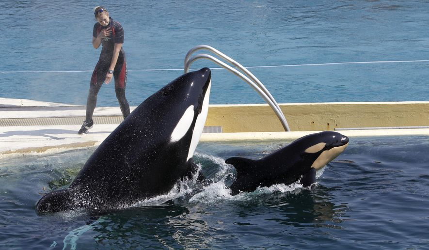 "In this April 18, 2011, file photo, killer whale ""Wikie"", jumps with its baby, a female born one month ago at the Marineland aquatic park in Antibes, southeastern France. (AP Photo/Lionel Cironneau, File)"