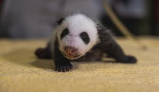 This handout photo released by the Smithsonian's National Zoo shows a new 6-week old, still-unnamed, baby boy panda, born Aug. 21, 2020 at the zoo.   (Roshan Patel/Smithsonian's National Zoo via AP)