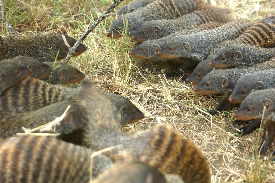 In this August 2013 photo provided by the Banded Mongoose Research Project in November 2020, banded mongooses form battle lines in Queen Elizabeth National Park, Uganda. When families of banded mongooses prepare to fight, they form battle lines. Each clan of about 20 animals stands nose to nose, their ears flattened back, as they stare down the enemy. A scrubby savannah separates them, until the first animals run forward. (Harry Marshall/Banded Mongoose Research Project via AP)