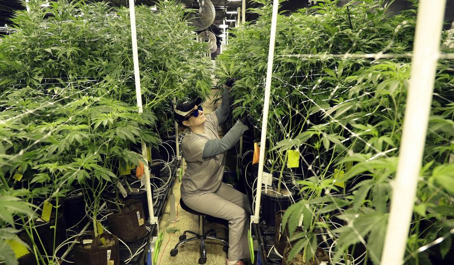 In this March 22, 2019, file photo, Heather Randazzo, a grow employee at Compassionate Care Foundation's medical marijuana dispensary, trims leaves off marijuana plants in the company's grow house in Egg Harbor Township, N.J. (AP Photo/Julio Cortez, File)