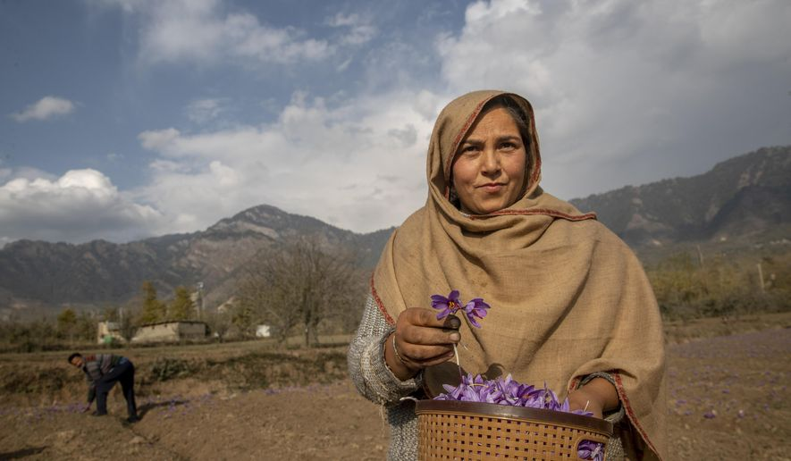 """Tasleema Banoo poses for a photograph while plucking crocus flowers, the stigma of which produces saffron, on a farm in Khrew, south of Srinagar, Indian controlled Kashmir, Saturday, Oct. 31, 2020. Farmers separate purple petals of the flowers by hand and, from each of them, come out three deep crimson-colored stigmas, one of the most expensive and sought-after spice in the world called saffron, also known as """"the golden spice."""" Across the world, saffron is used in multiple products ranging from medicine, beauty and food. A kilogram (2.2 pounds) of saffron can easily sell anywhere between $3,000 to $4,000. (AP Photo/Dar Yasin)"""