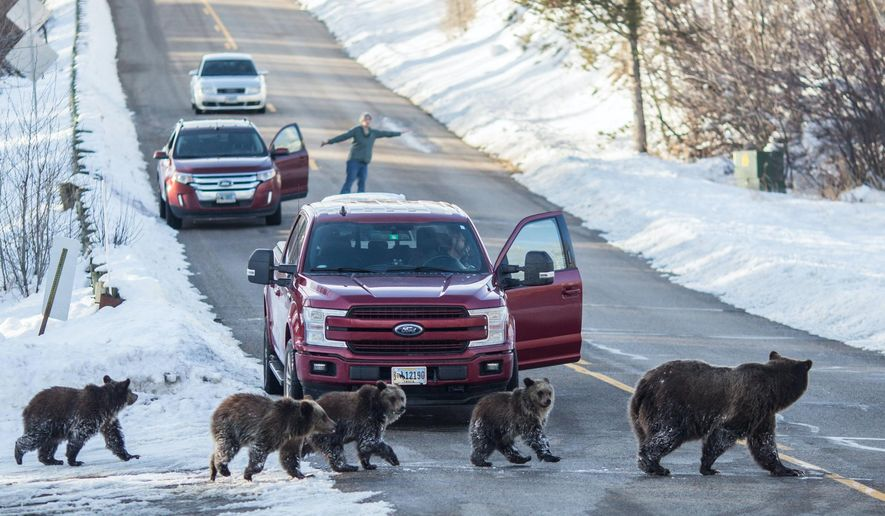 Grizzly bear 399 and her four cubs cross the road in southern Jackson Hole as Cindy Campbell stops traffic on Nov. 17, 2020. The 24-year-old bear and her cubs have spent considerable time far from the sow's usual northern range in and around Grand Teton National Park. Wildlife managers have been monitoring the bears in an effort to keep people safe and the bears out of harm's way. Wyoming Game and Fish officials are concerned the bear has started keying in on human-related foods such as honey from a beekeeper's hives, a grain mix meant for livestock and a residential compost pile. (Ryan Dorgan/Jackson Hole News & Guide via AP)