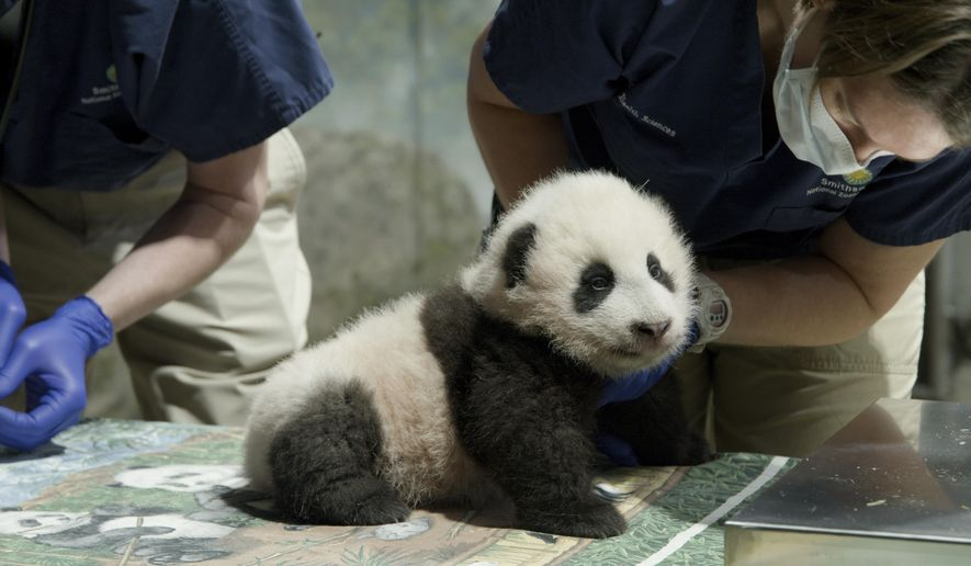 This handout photo released by the Smithsonian's National Zoo shows a panda cub named Xiao Qi Ji in Washington. The National Zoo has struck a new extension of its longstanding agreement with the Chinese government that will keep the zoo's iconic giant pandas in Washington for another three years. But the agreement calls into question the long-term future of the zoo's popular panda exhibit, as it calls for all three pandas—baby Xiao Qi Ji and parents Mei Xiang and Tian Tian—to return to China at the end of 2023(Smithsonian's National Zoo via AP)