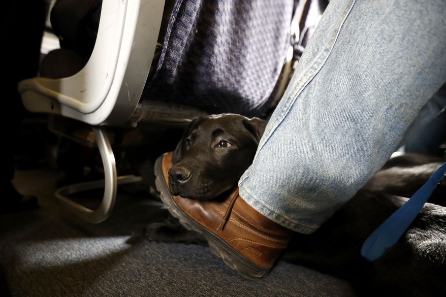 In this April 1, 2017, file photo, a service dog named Orlando rests on the foot of its trainer, John Reddan, of Warwick, N.Y., while sitting inside a United Airlines plane at Newark Liberty International Airport during a training exercise in Newark, N.J. American Airlines is banning emotional-support animals in a move that will force most owners to pay extra if they want their pets to travel with them. The airline said Tuesday, Jan. 5, 2021, that it will allow animals in the cabin free of charge only if they are trained service dogs. The change takes effect Monday, although passengers who already bought tickets can fly with a companion animal until Feb. 1. (AP Photo/Julio Cortez, File)