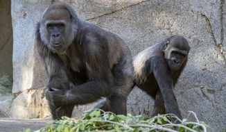 In this January 2021 photo provided by the San Diego Zoo, Leslie, a silverback gorilla, left, and a gorilla named Imani are seen in their enclosure at the San Diego Zoo Safari Park in Escondido, Calif. They are among several gorillas at the San Diego Zoo Safari Park that are expected to make a full recovery weeks after testing positive for the coronavirus, including one who received antibody treatment. Safari Park executive director Lisa Peterson said the eight western lowland gorillas were likely exposed by a zookeeper who tested positive for COVID-19 in early January. (Ken Bohn/San Diego Zoo Global via AP)