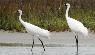 FILE - In this Dec. 17, 2011 file photo, a pair of whooping cranes walk through shallow marsh water looking for food near the Aransas Wildlife Refuge in Fulton, Texas. The coronavirus pandemic has canceled 2021's flights to count only natural flock of whooping cranes — the first time in 71 years that crews in Texas couldn't make an aerial survey of the world's rarest cranes. (AP Photo/Pat Sullivan)