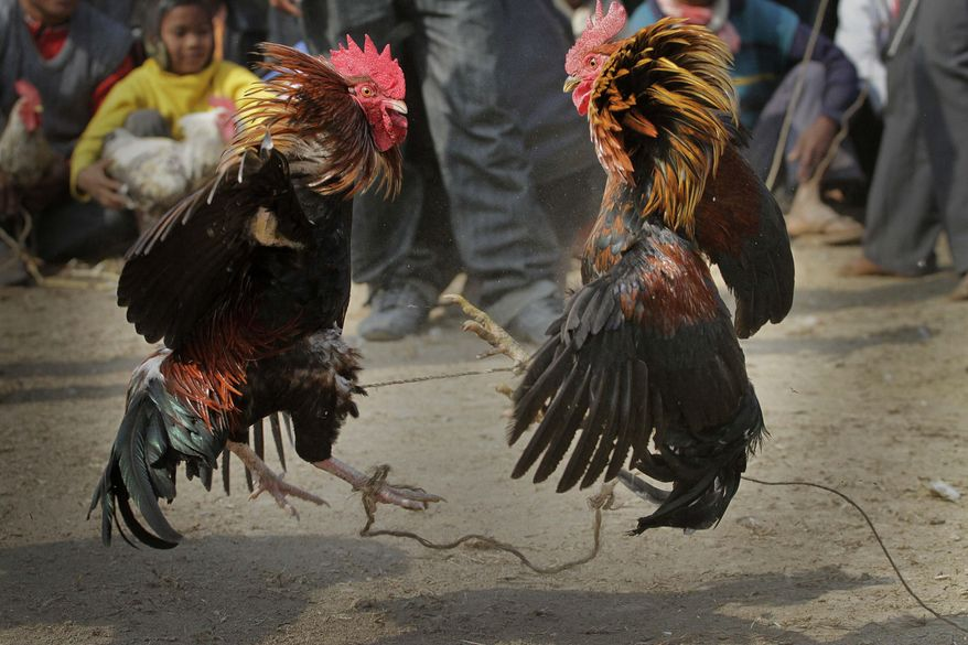 FILE- In this Jan. 21, 2011 file photo, people watch a cock fight during the Jonbeel festival in Jagiroad, about 75 kilometers (47 miles) east of Gauhati, north eastern Assam state, India. A man was killed by a rooster with a blade tied to its leg during an illegal cockfight in southern India, police said, bringing focus on a practice that continues in some Indian states despite a decades-old ban. (AP Photo/Anupam Nath, File)