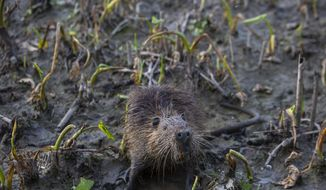 An invasive nutria rat stands in the marsh near Venice, La., Saturday, Feb. 27, 2021. The proceeds collected from the rodeo went towards coastal restoration efforts and the bodies of the nutria went towards crabbing instead of the original plan, the Audubon Zoo to feed animals. ( Sophia Germer/The Advocate via AP)