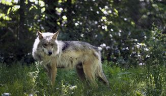 FILE - This May 20, 2019, file photo shows a Mexican gray wolf in Eurkea, Mo. Once on the verge of extinction, the rarest subspecies of the gray wolf in North America has seen its population nearly double over the last five years. U.S. wildlife managers said Friday, March 12, 2021, the latest survey shows there are now at least 186 Mexican gray wolves in the wild in New Mexico and Arizona. (AP Photo/Jeff Roberson, File)