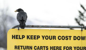A raven carries food in its beak as it sits atop a sign in a Costco parking lot on Wednesday, March 24, 2021, in south Anchorage, Alaska. People have been sharing stories on social media of ravens stealing food from their carts while they load groceries into their vehicles. (Loren Holmes/Anchorage Daily News via AP)