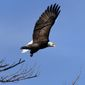 The population of the American bald eagle has quadrupled since 2009, according to a new report from the U.S. Fish and Wildlife Service. (Associated Press)
