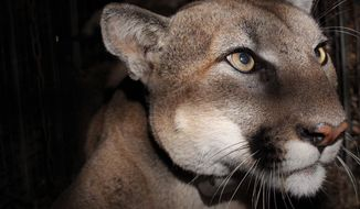 This Nov. 2020 photo provided by the U.S. National Park Service shows a mountain lion, dubbed P-78, taken with a remote field camera in the taken in the eastern Santa Susana Mountains at Towsley Canyon, in Los Angeles County. P-78 a mountain lion that was part of a federal study in the Los Angeles region was found dead with injuries likely caused by a vehicle. The Santa Monica Mountains National Recreation Area says Wednesday, March 31, 2021, the male lion, was the 23rd victim of road mortality in the study area since 2002. Biologists received a mortality signal from P-78's tracking collar in December. (NPS via AP)