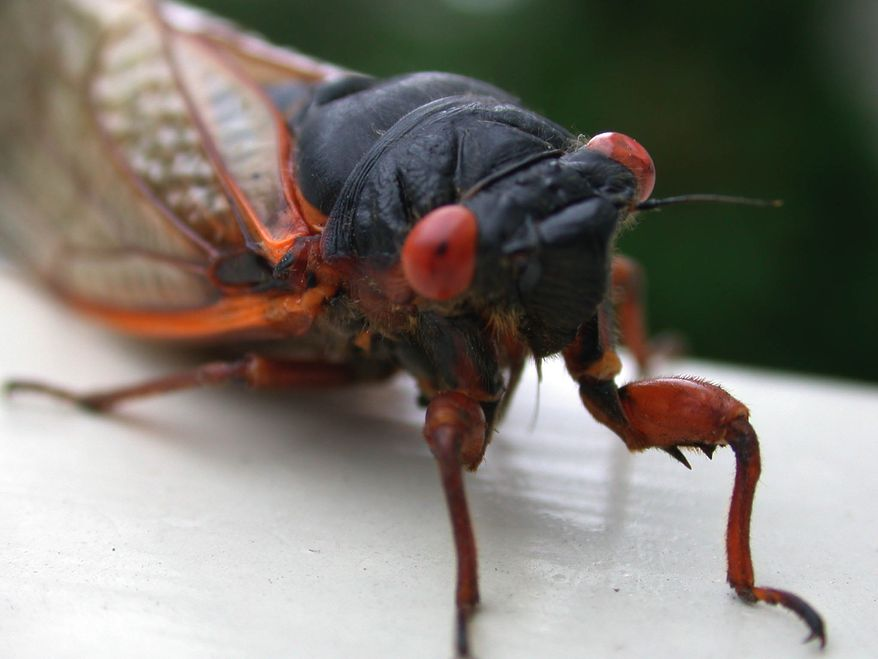 A cicada rests on a railing prior to continuing its journey. (AP Photo/Sean M. Bush)