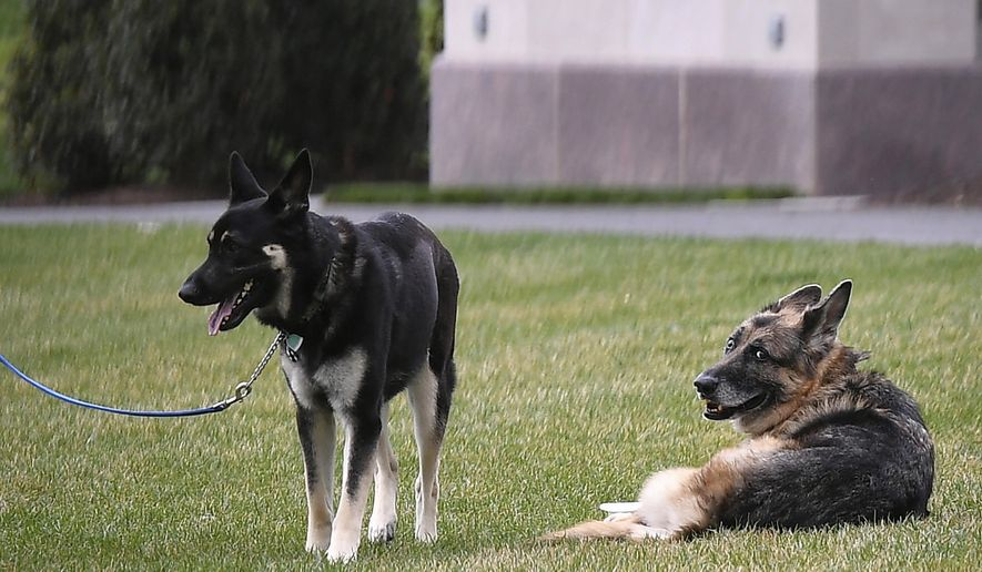 President Joe Biden and first lady Jill Biden's dogs Champ, right, and Major are seen on the South Lawn of the White House in Washington, Wednesday, March 31, 2021. (Mandel Ngan/Pool via AP) ** FILE **