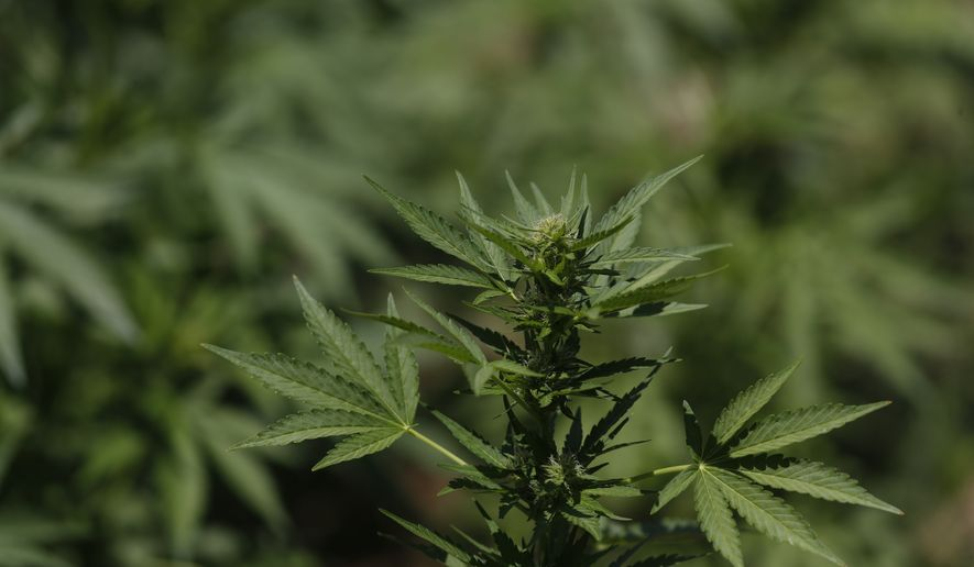 A marijuana plant grows in a field in the mountains surrounding Badiraguato, Sinaloa state, Mexico, Tuesday, April 6, 2021. In Mexico, the marijuana legalization effort is generating uncertainty among families that have cultivated the crop for generations, with many fearing that prices they are paid will continue to drop and what capos will do when faced with a new legal business. (AP Photo/Eduardo Verdugo)