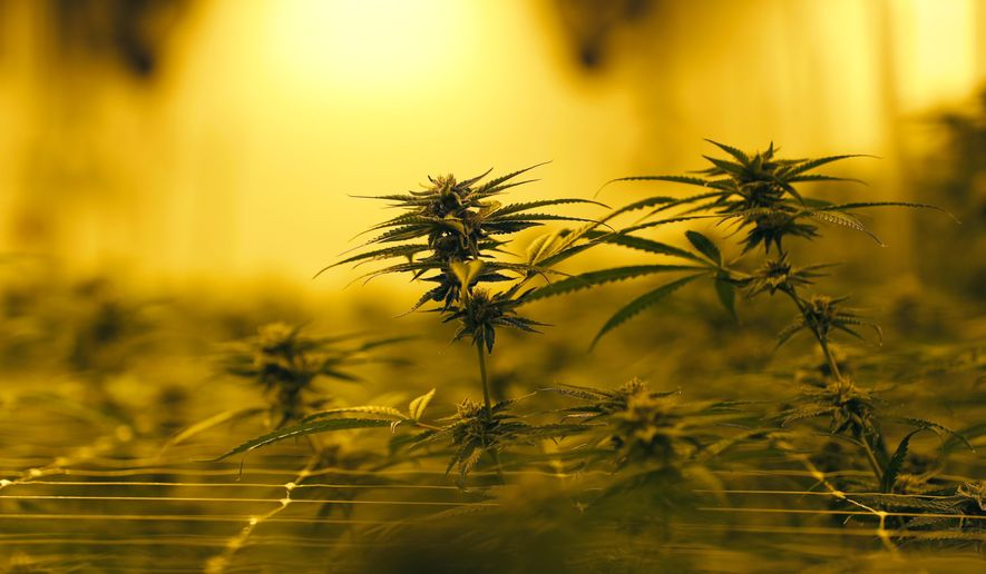 FILE - In this Tuesday, Aug. 6, 2019, file photo file photo, marijuana plants grow under special grow lights in Baton Rouge, La. A House Republican leader's bid to expand Louisiana's medical marijuana program and allow smokable cannabis started to gain traction Thursday, April 15, 2021, as lawmakers advanced a bill that would tax the new therapeutic products. (AP Photo/Gerald Herbert, File)