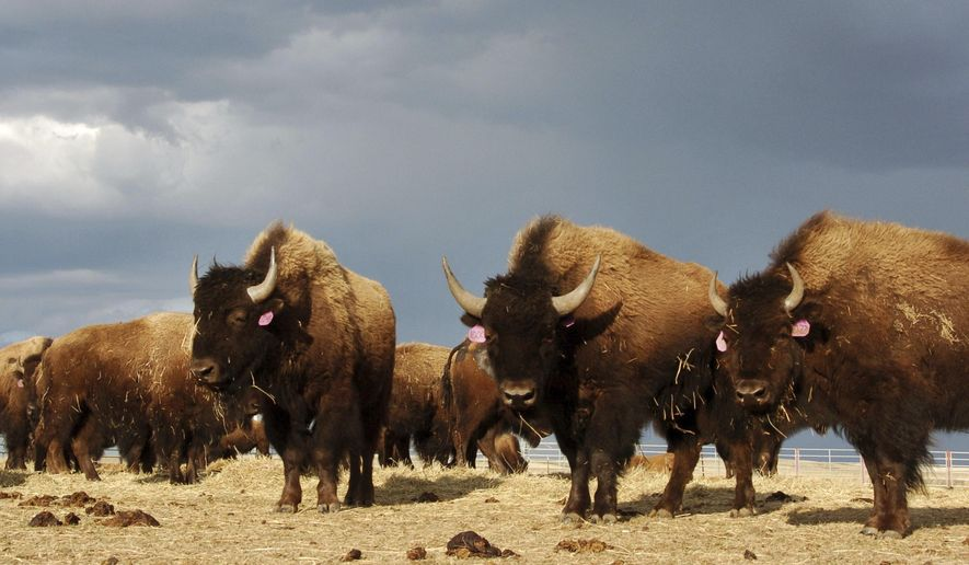 FILE - In an April 24, 2012, file photo, a herd of bison stand in a pen on the Fort Peck Reservation near Poplar, Mont. Montana Gov. Greg Gianforte has ended a bison management plan that would have allowed the wide-ranging animals to be restored in more areas of the state. The Republican announced Tuesday, April 20, 2021, that the state had settled a lawsuit brought the year before against the administration of his Democratic predecessor over adoption of the bison plan. Gianforte said he was acting to protect ranchers and farmers. (AP Photo/Matthew Brown, File)