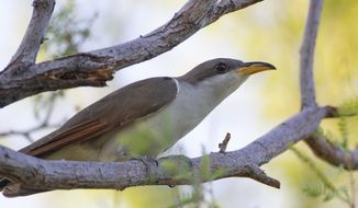 FILE - In this July 8, 2019, file photo provided by the United States Fish and Wildlife Service, shows a yellow-billed cuckoo. U.S. wildlife managers have set aside vast areas across several states as habitat critical to the survival of a rare songbird that migrates each year from Central and South America to breeding grounds in Mexico and the United States. The U.S. Fish and Wildlife Service announced the final habitat designation for the western yellow-billed cuckoo on Tuesday, April 20, 2021. (Peter Pearsall/United States Fish and Wildlife Service via AP, File)