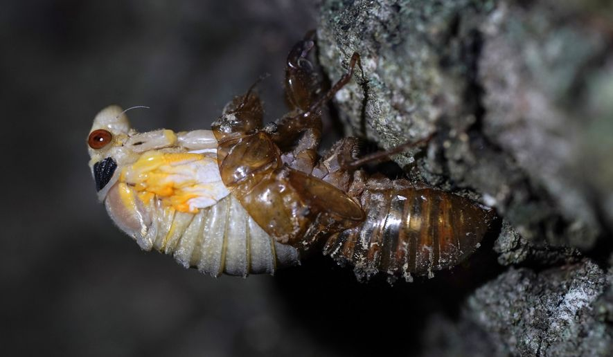 An adult cicada sheds its nymphal skin on the bark on an oak tree, Tuesday, May 4, 2021, on the University of Maryland campus in College Park, Md. Trillions of cicadas are about to emerge from 15 states in the U.S. East. Scientists say Brood X is one of the biggest for these bugs which come out only once every 17 years. (AP Photo/Carolyn Kaster)