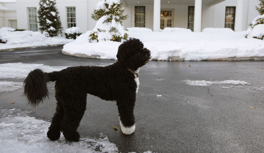 In this Dec. 20, 2009, file photo President Obama's family dog, Bo, stands near the West Wing of the White House in Washington. Bo died Saturday, May 8, 2021, after a battle with cancer, the Obamas said on social media. (AP Photo/Alex Brandon, File)