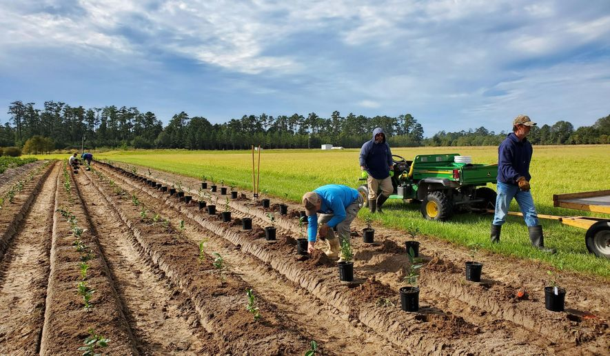 In this photo provided by Yan Chen of the LSU AgCenter, workers set out tea plants at the AgCenter's Hammond Research Station in Hammond, La., Oct. 24, 2019. A Louisiana State University scientist is testing several varieties of tea to see which plants grow best in south Louisiana, and whether they do better in full sun or partial shade. Two New Iberia farmers and one in Amite are trying their hands at tea farming, and an organic farm in the Alexandria area and a New Orleans-area tourist plantation have plans to do so, horticulturist Yan Chen of the LSU AgCenter said. (Yan Chen/LSU AgCenter via AP)