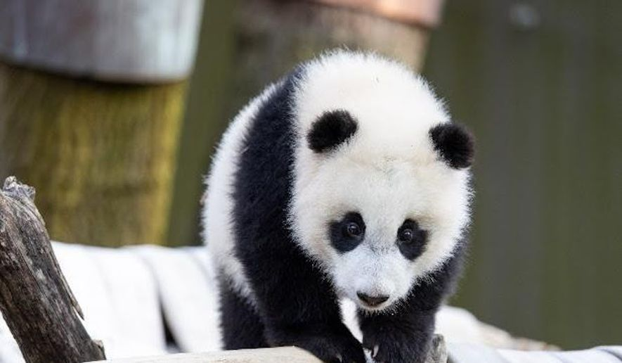 Visitors of the Smithsonian's National Zoo will be able to book Asia Trail passes to see giant panda cub Xiao Qi Ji when the zoo reopens on May 21. It will be the first time zoo visitors will be able to get a glance at the cub since his birth in August. (Courtesy of the National Zoo)