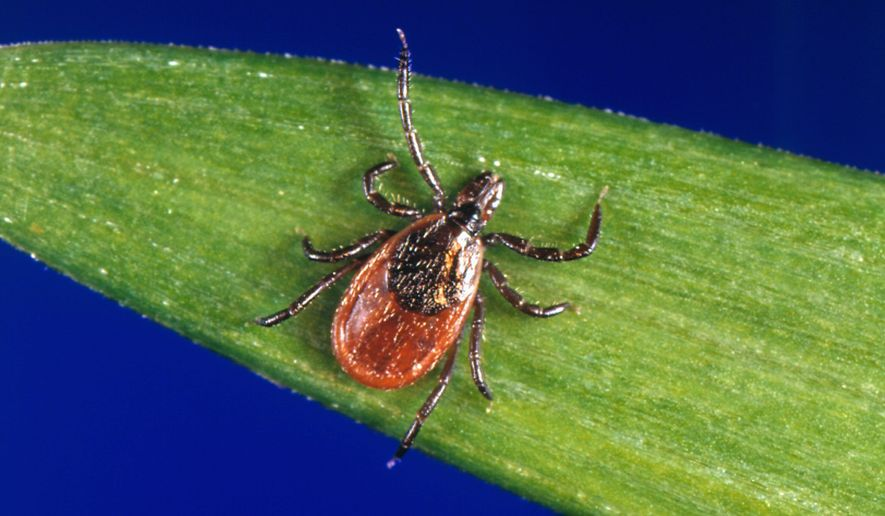 This undated photo provided by the U.S. Centers for Disease Control and Prevention (CDC) shows a blacklegged tick — also known as a deer tick. With a bumper crop of blacklegged ticks possible this season, researchers in a Lyme disease-plagued part of New York's Hudson Valley are tackling tick problems across entire neighborhoods with fungal sprays and bait boxes. (CDC via AP)