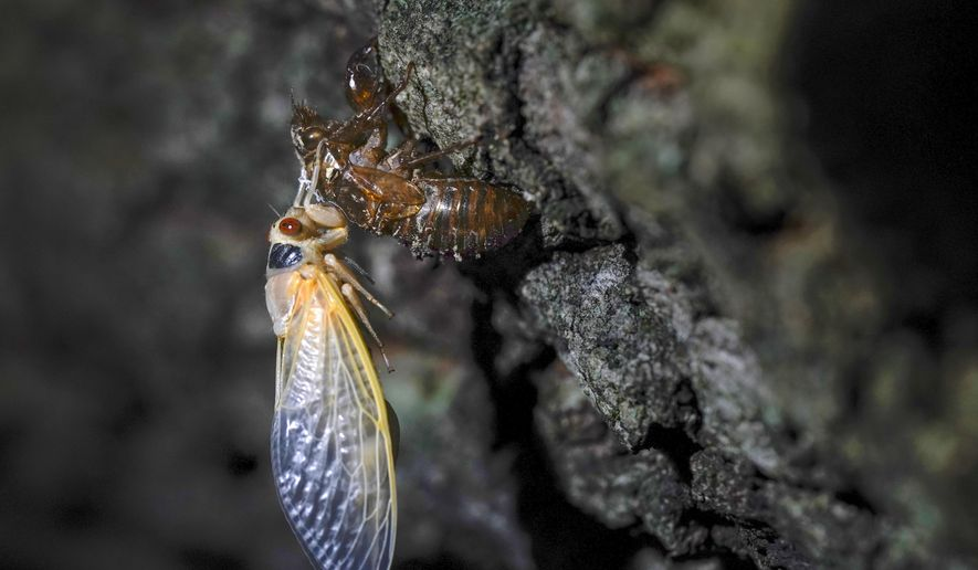 An adult cicada rests after shedding its nymphal skin, on the bark of an oak tree early Wednesday, May 5, 2021, on the University of Maryland campus in College Park, Md. (AP Photo/Carolyn Kaster, File)