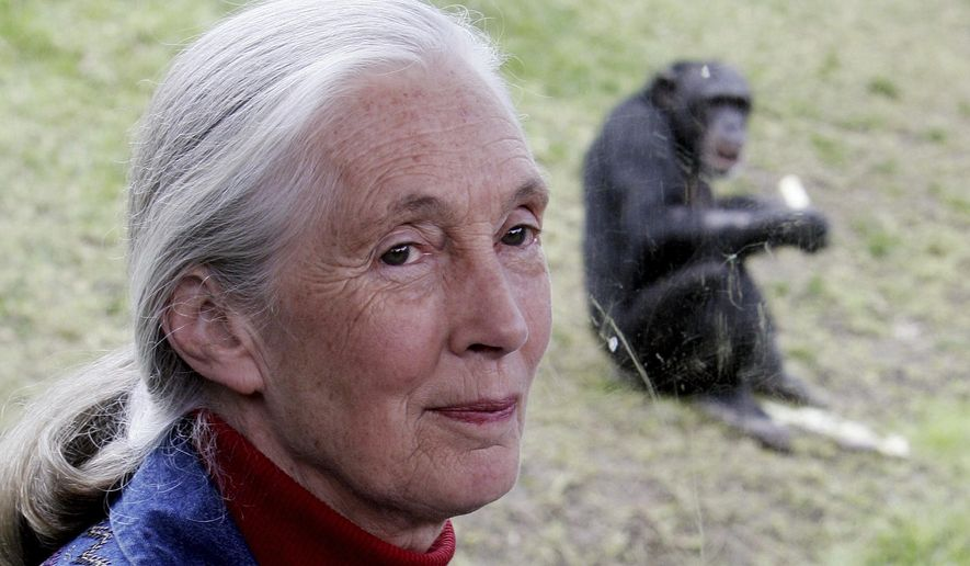 Primatologist Jane Goodall sits near a window where behind a chimpanzee eats in its enclosure at Sydney's Taronga Zoo Friday, July 14, 2006. Goodall was named Thursday, May 20, 2021 as this year's winner of the prestigious Templeton Prize, honoring individuals whose life's work embodies a fusion of science and spirituality. (AP Photo/Rick Rycroft)