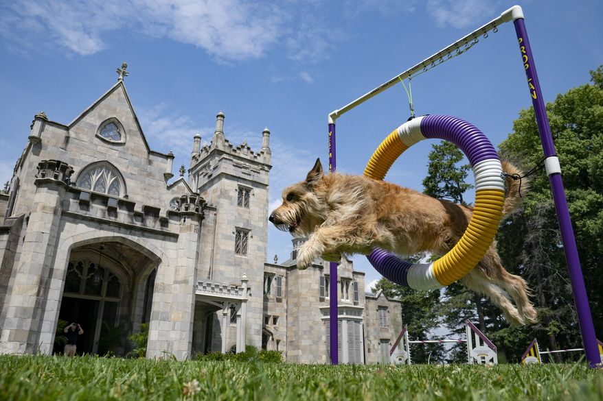Chet, a berger picard, performs a jump in an agility obstacle Tuesday, June 8, 2021, in Tarrytown, N.Y., at the Lyndhurst Estate where the 145th Annual Westminster Kennel Club Dog Show will be held outdoors, (AP Photo/John Minchillo) **FILE**