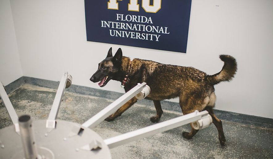 Cobra, an 8-year-old Belgian Malinois, is one of the COVID-19-certified detection dogs at Florida International University's International Forensic Research Institute (IFRI). She was previously trained to sniff out laurel wilt, a fungus that was destroying South Florida's avocado trees. The university has four dogs certified to detect COVID-19. It will deploy its COVID-19 detection dogs to screen employees at the Miami International Airport at the end of the month for a monthslong pilot study. (Photo courtesy of FIU IFRI)