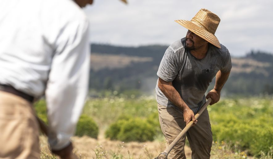 Farmworkers, who declined to give their names, break up earth, Thursday, July, 1, 2021, near St. Paul, Ore., as a heat wave bakes the Pacific Northwest in record-high temperatures. (AP Photo/Nathan Howard) **FILE**