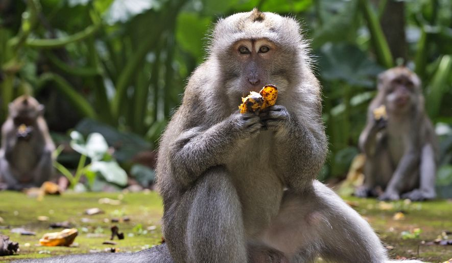 Macaques eat bananas during feeding time at Sangeh Monkey Forest in Sangeh, Bali Island, Indonesia, Wednesday, Sept. 1, 2021. Deprived of their preferred food source — the bananas, peanuts and other goodies brought in by the tourists now kept away by the coronavirus — hungry monkeys on the resort island of Bali have taken to raiding villagers' homes in the search for something tasty. (AP Photo/Firdia Lisnawati)