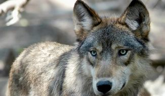 This July 16, 2004, photo shows a gray wolf at the Wildlife Science Center in Forest Lake, Minn. The Biden administration said Wednesday, Sept. 15, 2021, that federal protections may need to be restored for gray wolves in the western U.S. after Republican-backed state laws made it much easier to kill the predators. (AP Photo/Dawn Villella) **FILE***