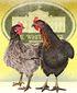 B1-BABB-Two-Chicken.jpg